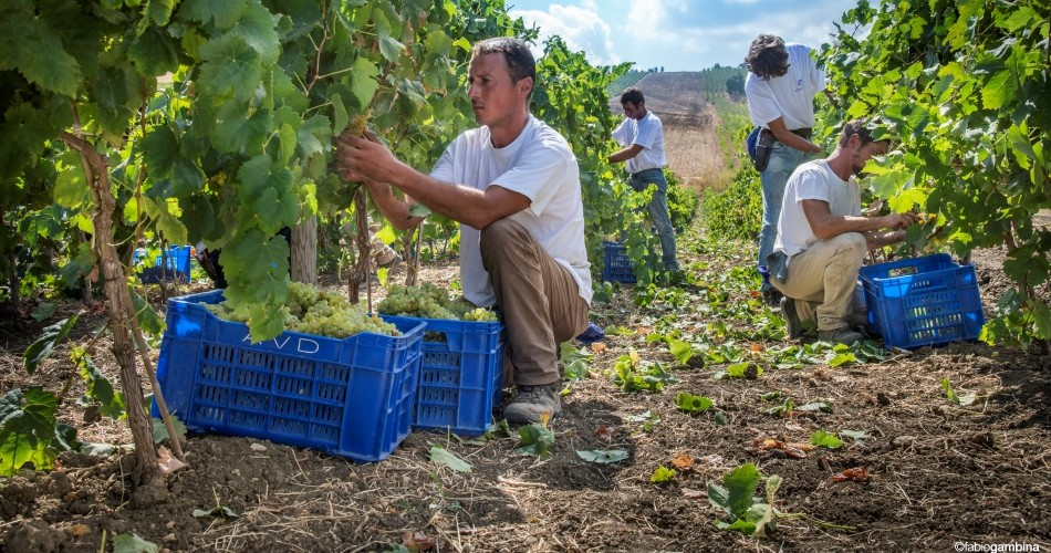 The 2006 harvest: perfect maturation of the grapes, aromatic white wines, fruity and elegant reds