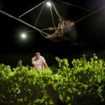 Donnafugata's nighttime harvest: ten years of a passion for quality